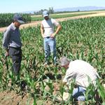 Field crop rows at Russell Ranch Sustainable Agriculture Facility, UC Davis